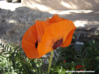 Image: Poppy in Taos, New Mexico, summer 2008