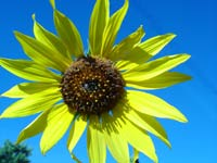 Image: Sunflower, Taos, New Mexico, Summer 2006
